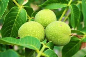 Зелени орехи